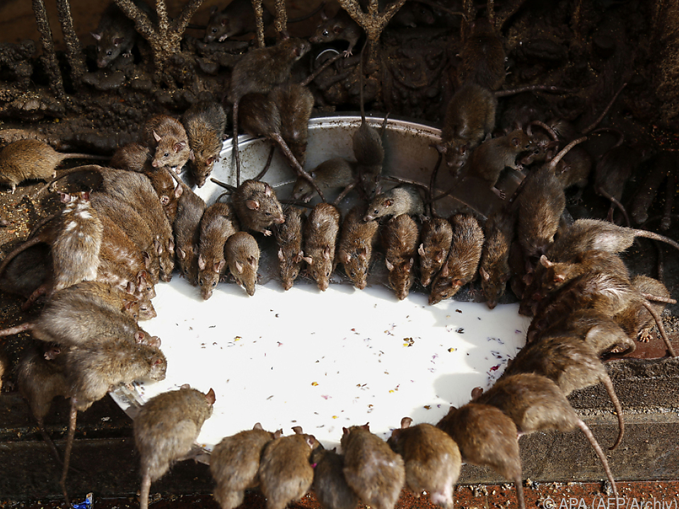 Im Rathaus von Los Angeles feiern die Ratten fröhliche Urständ\'