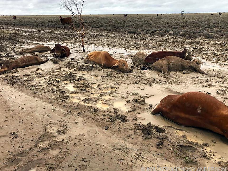 Massensterben von Rindern