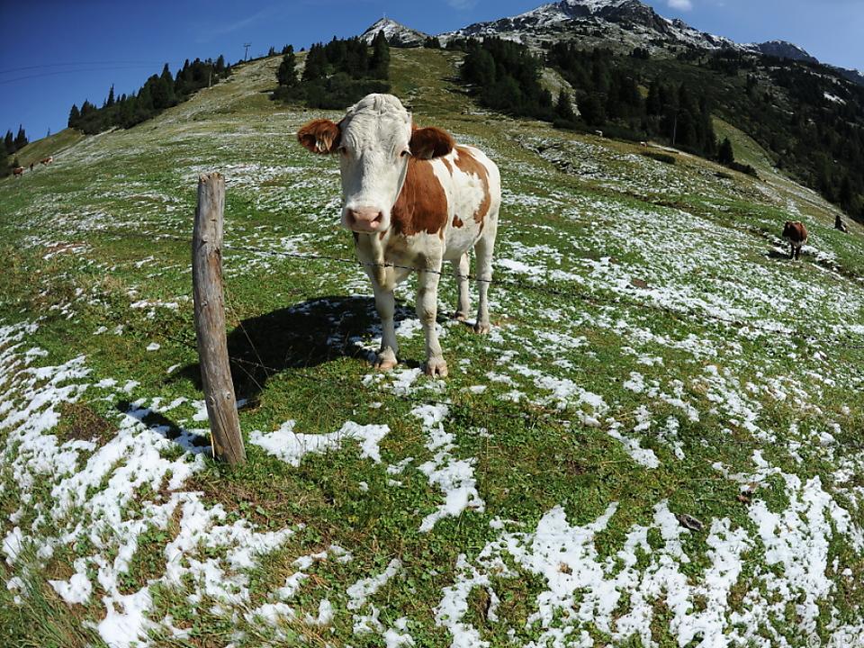 Vor allem Hunde sorgen für Unruhe bei den Tieren kuh alm wiese landwirtschaft