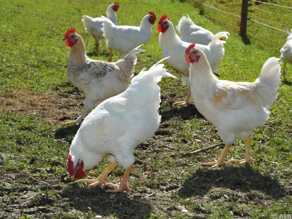 60 Betriebe liefern die Eier derzeit an huhn