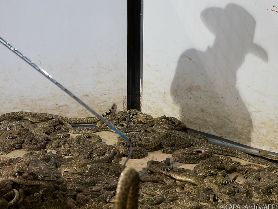 Experten entdeckten gleich 45 Klapperschlangen