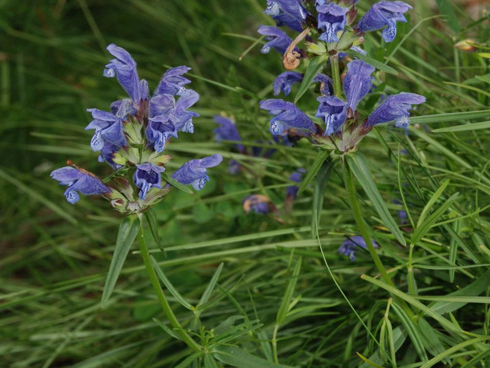 Flora Obervinschgau