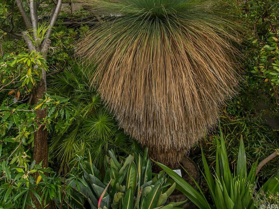 Grasbaum soll in den nächsten Wochen aufblühen