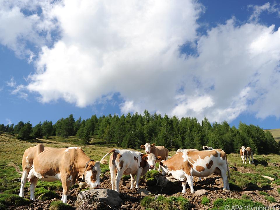 Neue Verhaltensregeln auf den Almen geplant kuh alm