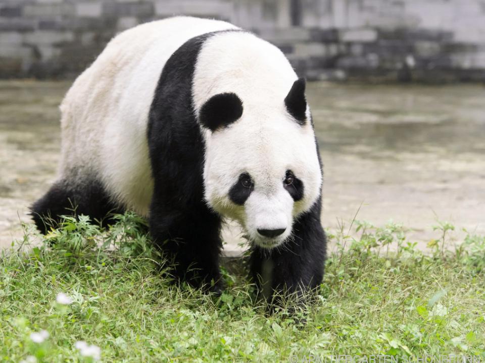 Panda-Weibchen Yang Yang bekommt männliche Gesellschaft
