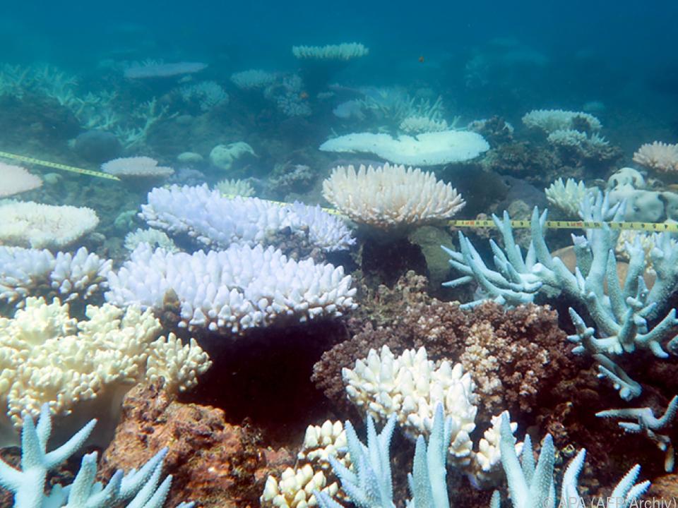 2016/2017 bedrohte bereits die Korallenbleiche das Great Barrier Reef