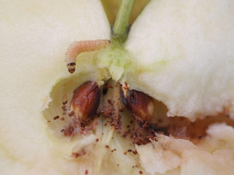 Apfelwickler 3