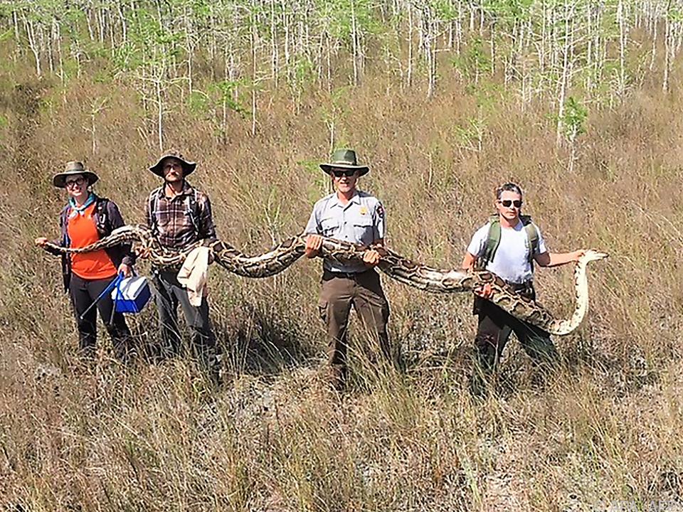 Die Python ist 5,20 Meter lang und 64 Kilogramm schwer
