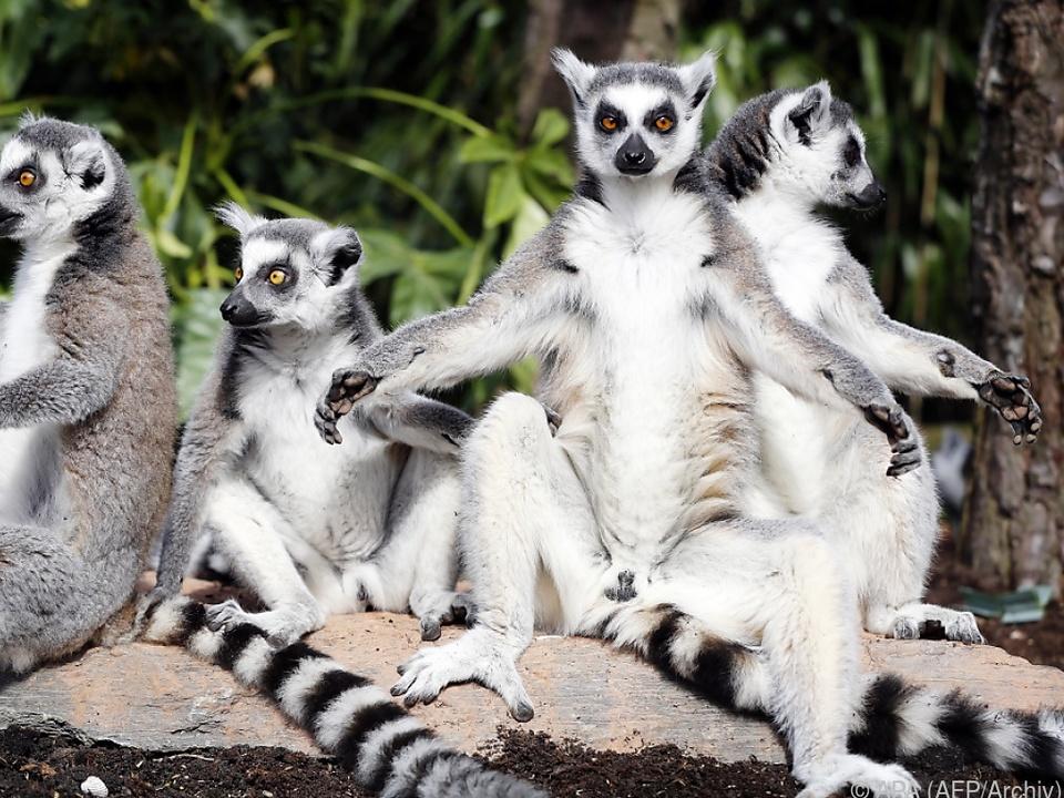 Die Tiere sind für ihre entspannten Posen bekannt