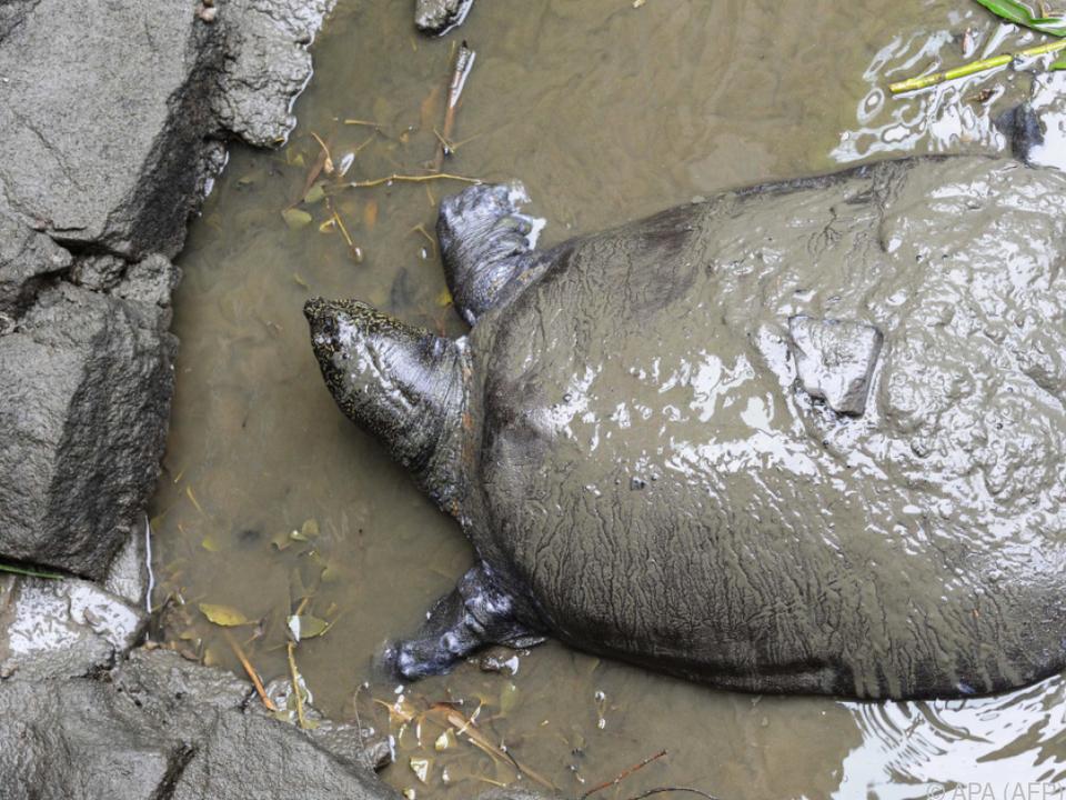 Eine der letzten Riesenweichschildkröten