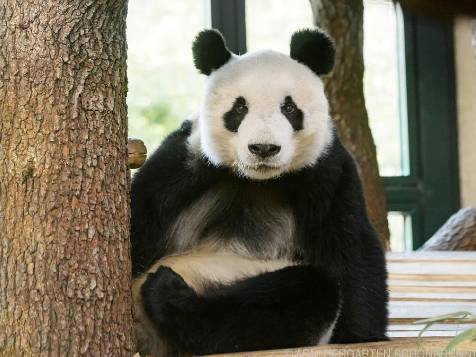 Yuan Yuan wurde im Tiergarten Schönbrunn schon sehnsüchtig erwartet