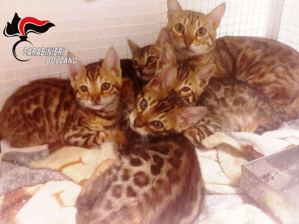 Bengalkatzen 20190513_i_felini_sequestrati