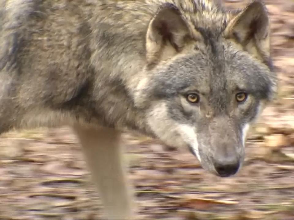 Abschuss von Wölfen soll künftig einfacher werden