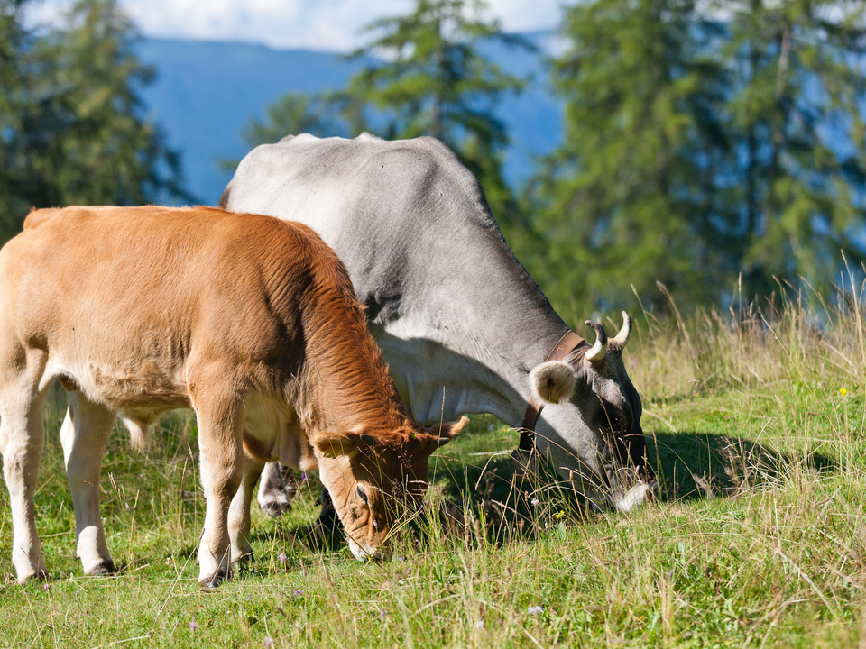 Kühe Kuh Weide