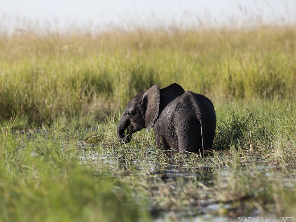 Botsuana mit größter Elefantenpopulation in Afrika