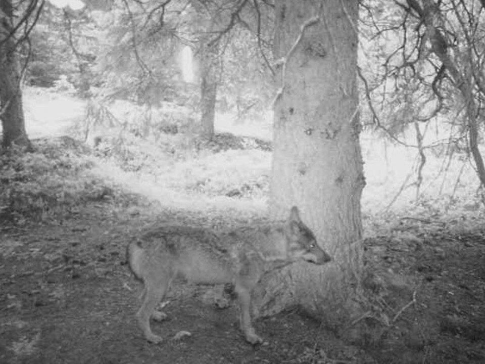 lpa-wolf-fotofalle
