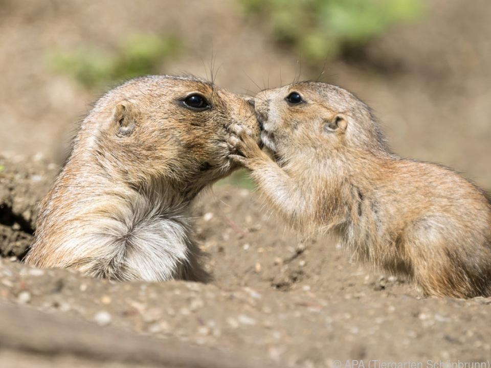 Präriehund-Jungtiere wagen sich aus ihren Löchern