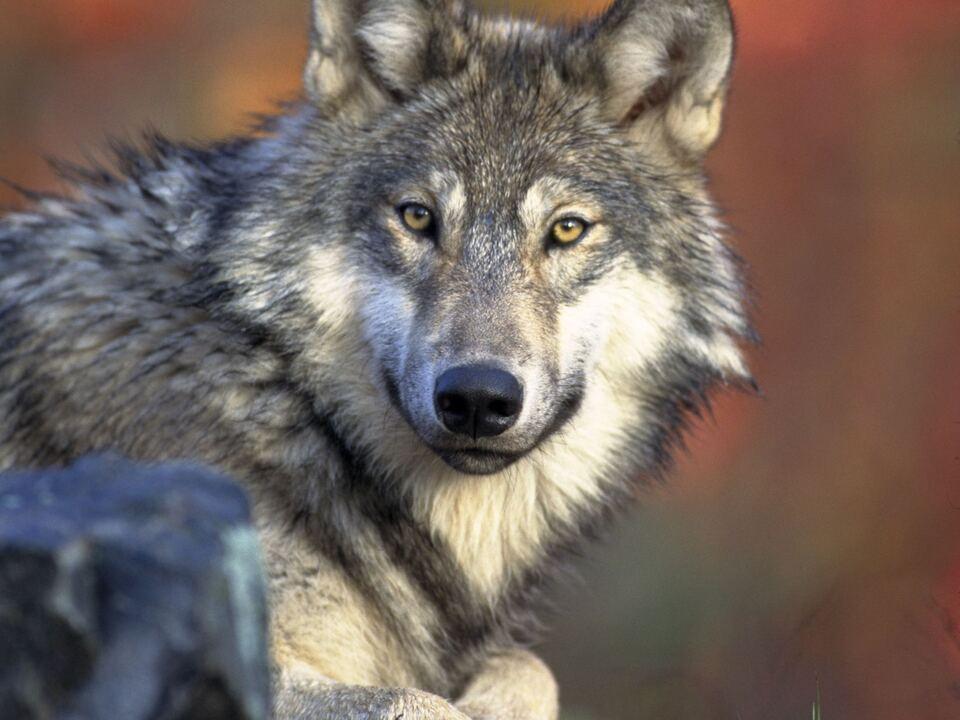 1037053_Wolf-2