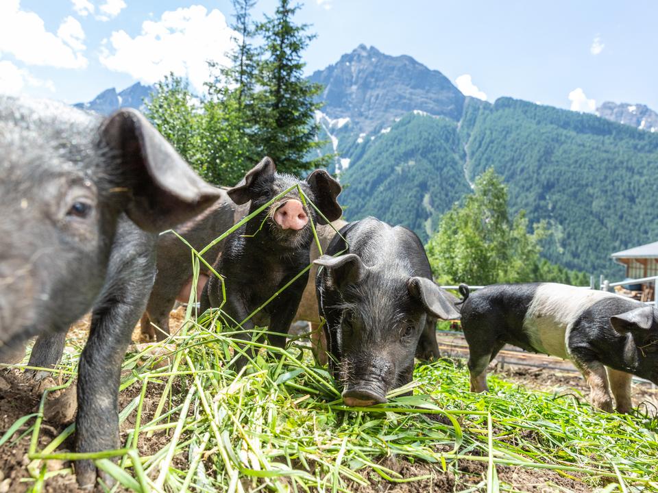 carnerie-by-joergnerhof-bio-schweine-ferkel-suedtirol-hochtal_TEC7472