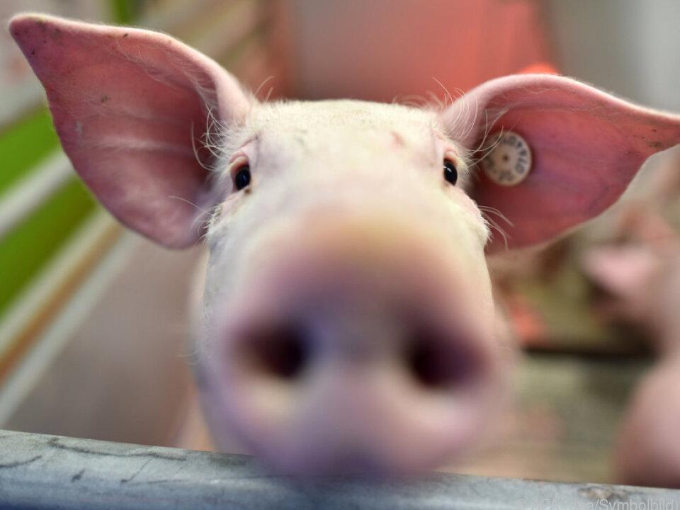 Das Schwein wollte wohl ein kühles Bad nehmen