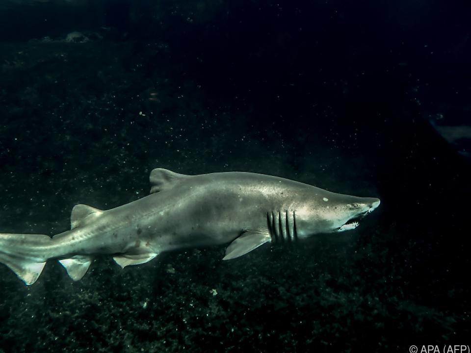 Vor allem Überfischung und Verschmutzung gefährden die Haipopulation