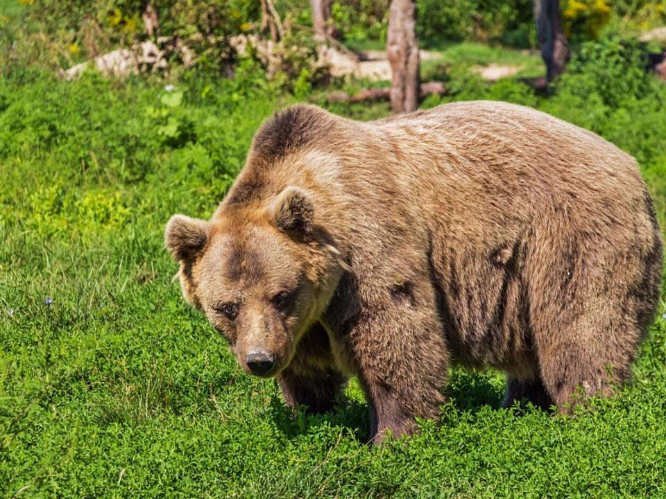 Bär Braunbär