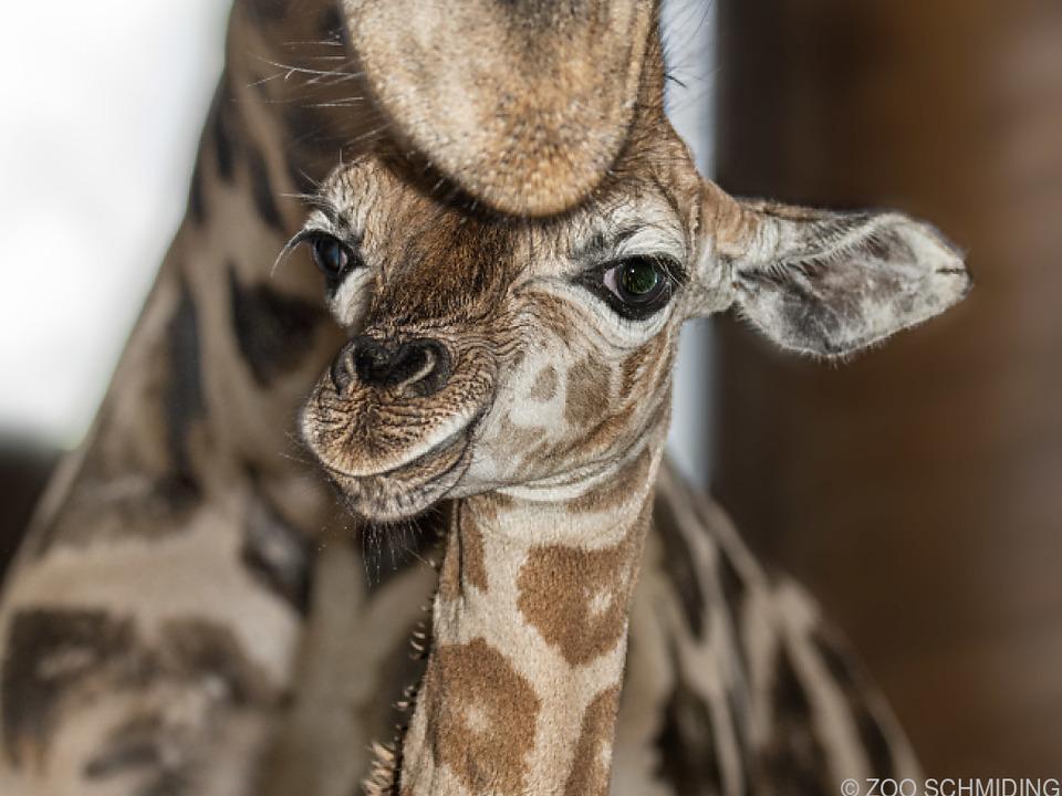 1,75 Meter hohes Giraffen-Jungtier im Zoo Schmiding