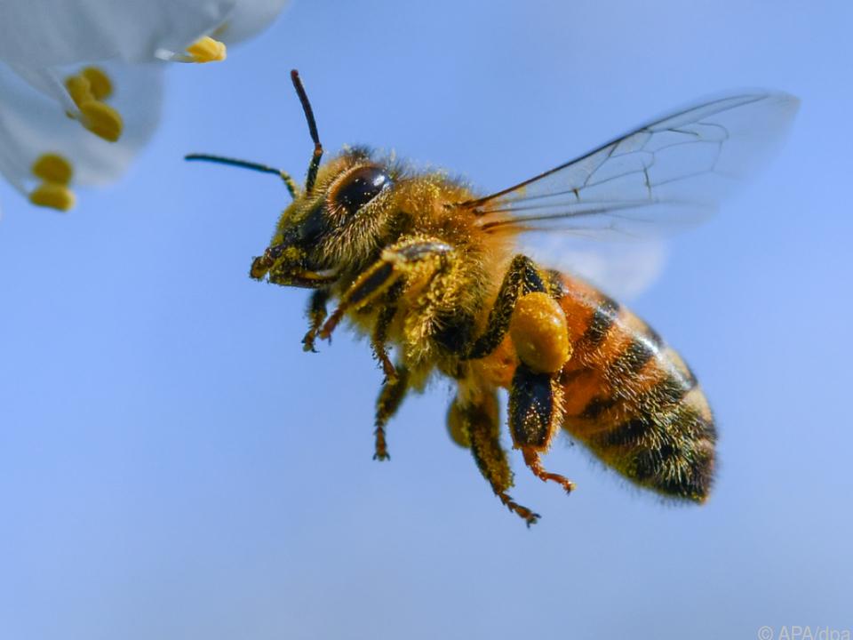 Bienen können hartnäckig sein