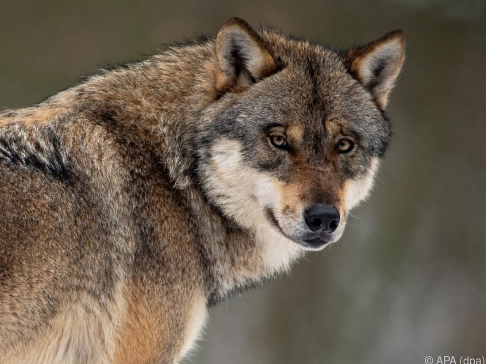 Der Wolf breitet sich wieder aus in Europa