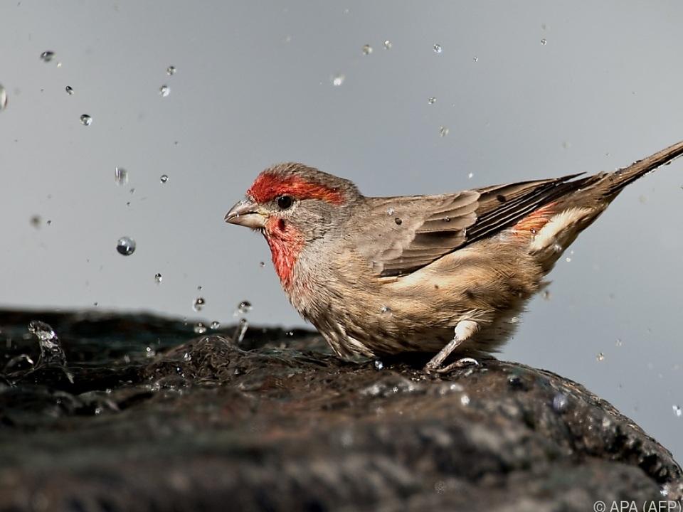 Finken und andere verbreitete Arten stark dezimiert