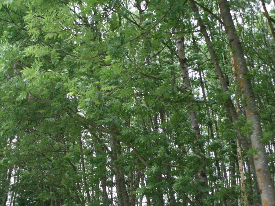 Wertvoller Eschnwald soll geofert werden
