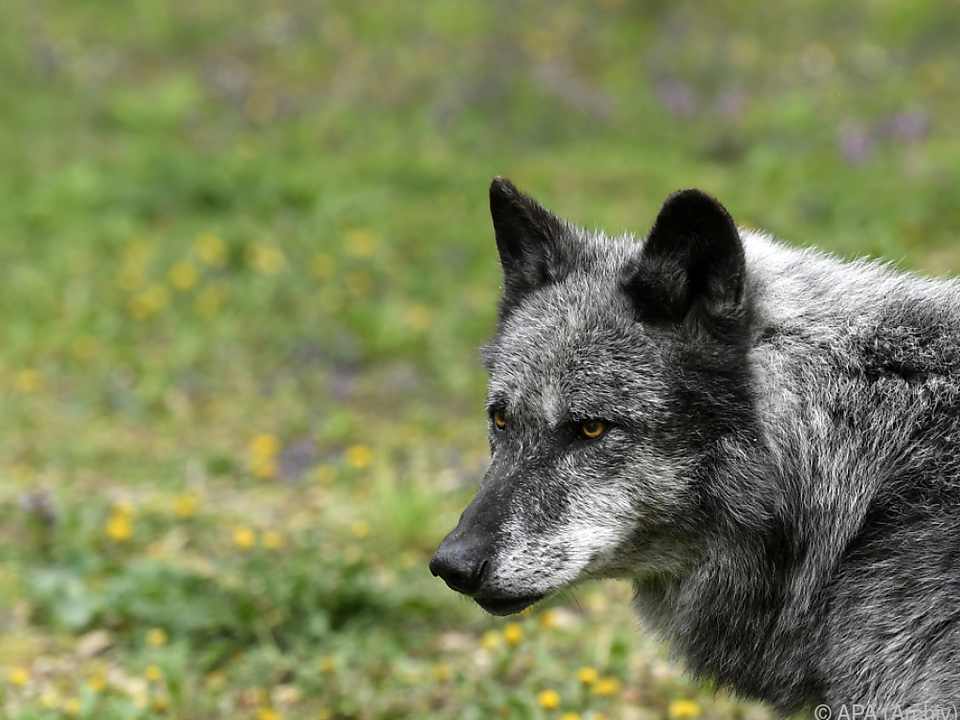 Wolf wieder in Salzburg aktiv