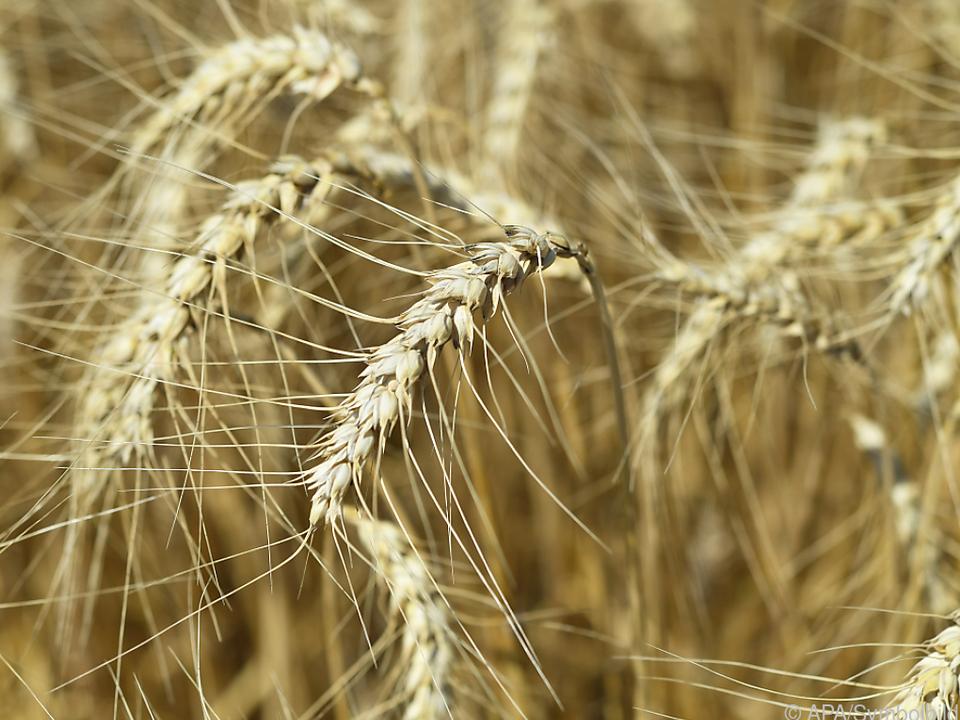Lebensmittel machen 60 Prozent aller Agrarexporte aus weizen landwirtschaft bauer brot getreide