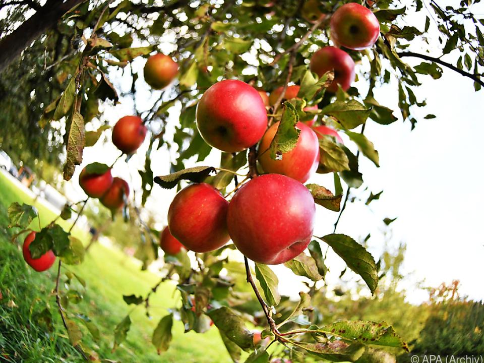 Um ein Viertel weniger Äpfel