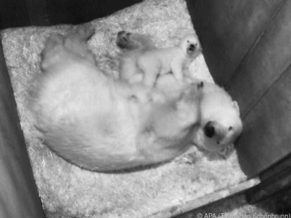 Das zehn Wochen alte Eisbären-Jungtier in seiner Wurfhöhle