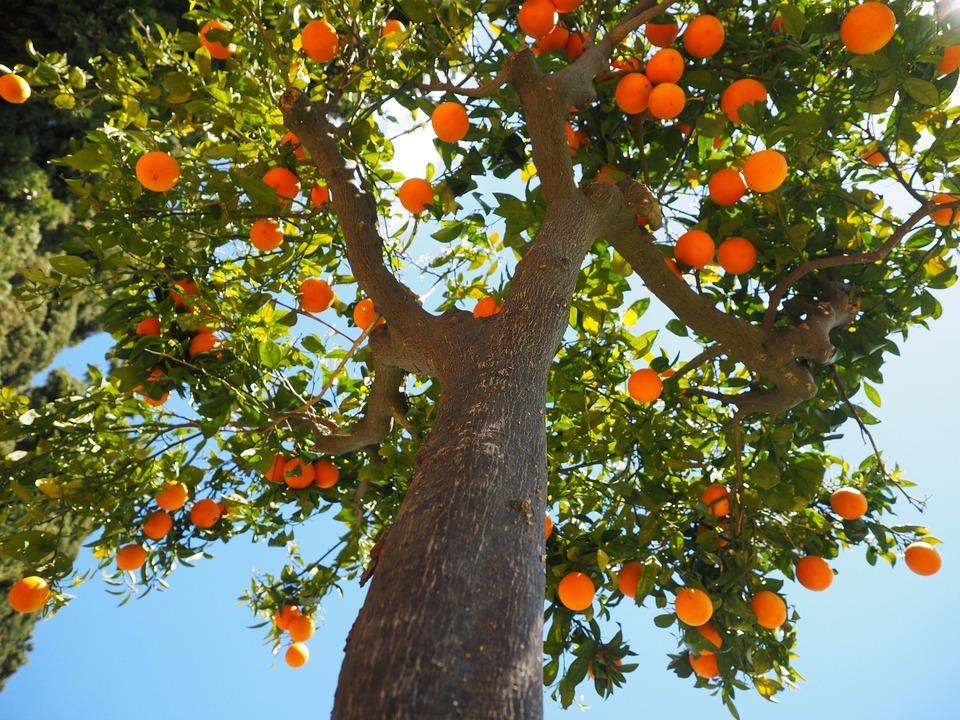 Orangen, Orangenbaum, athesiadruck2_20200211190255970