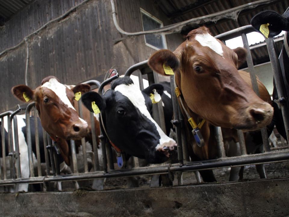 Kühe Stall Kuh