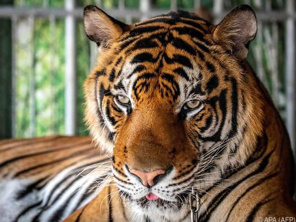 Tiger gehören in den Zoo oder in die Freiheit, aber nicht auf Partys