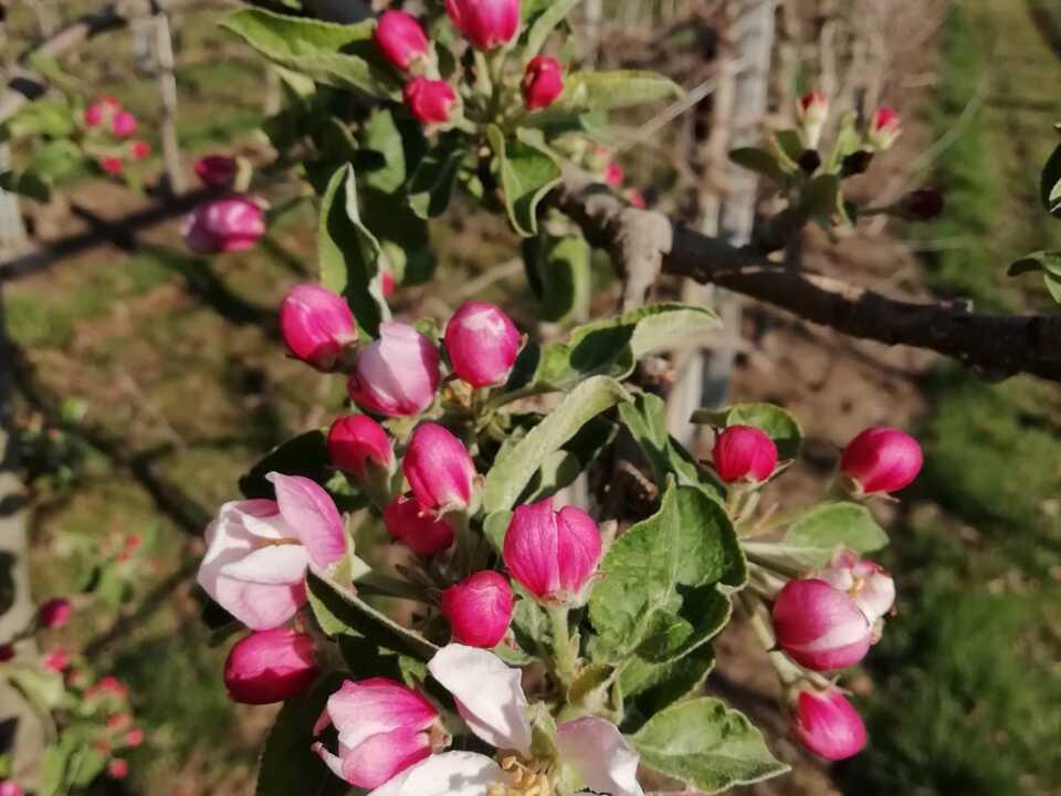 apfel blüte frostschutzberegnung