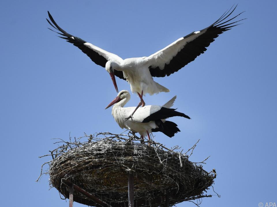 Die Störche können sich bei ihrer Rückkehr ins gemachte Nest setzen