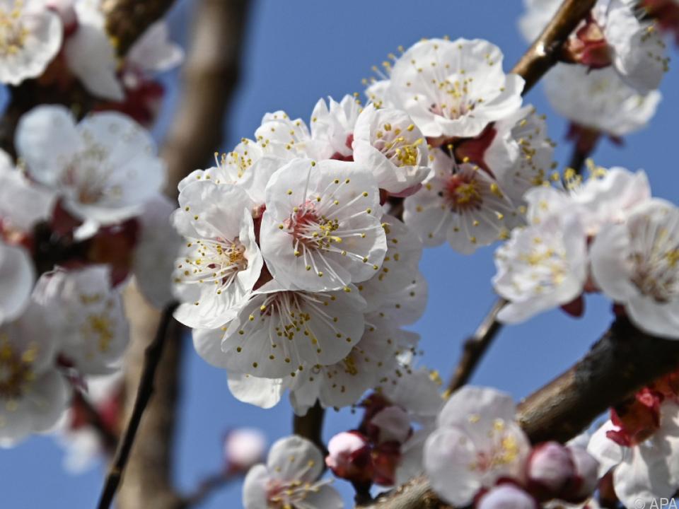 Vor allem die bereits blühenden Marillen traf es schwer frühling blüte frost
