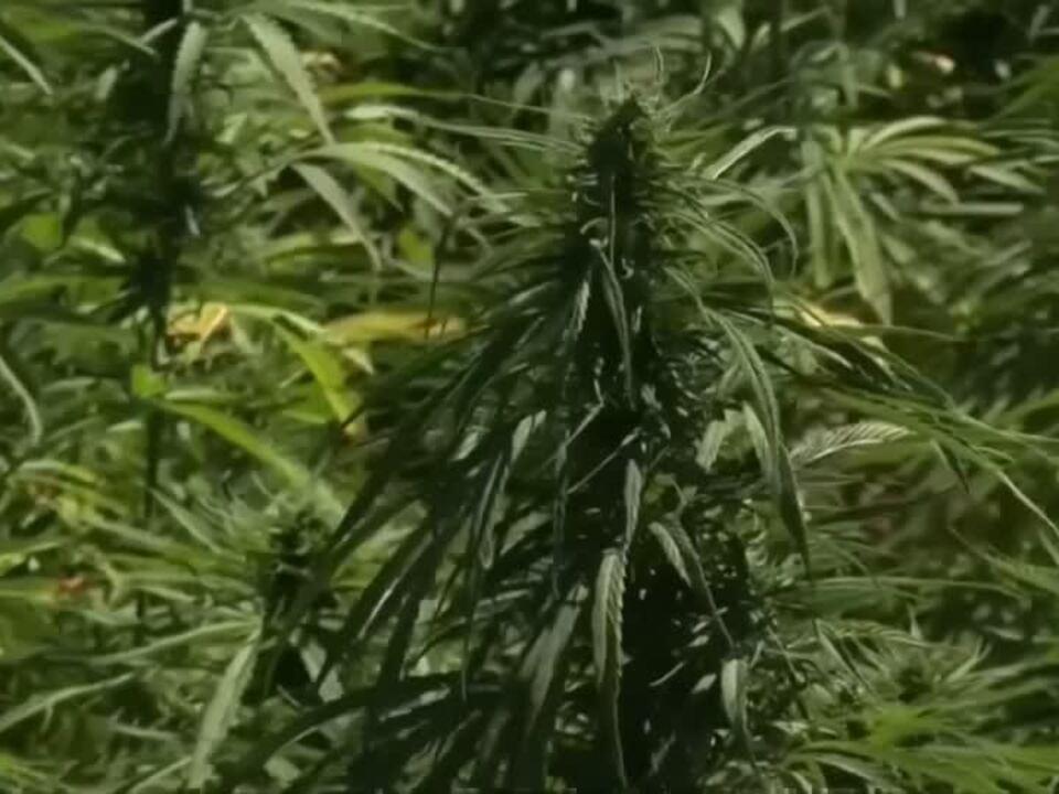 Cannabis-Produktion im Libanon legal