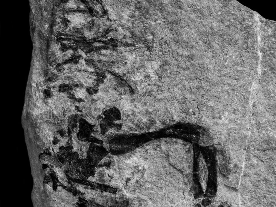 Fossil eines Eusaurophargis dalsassoi. Foto Silvio Renesto