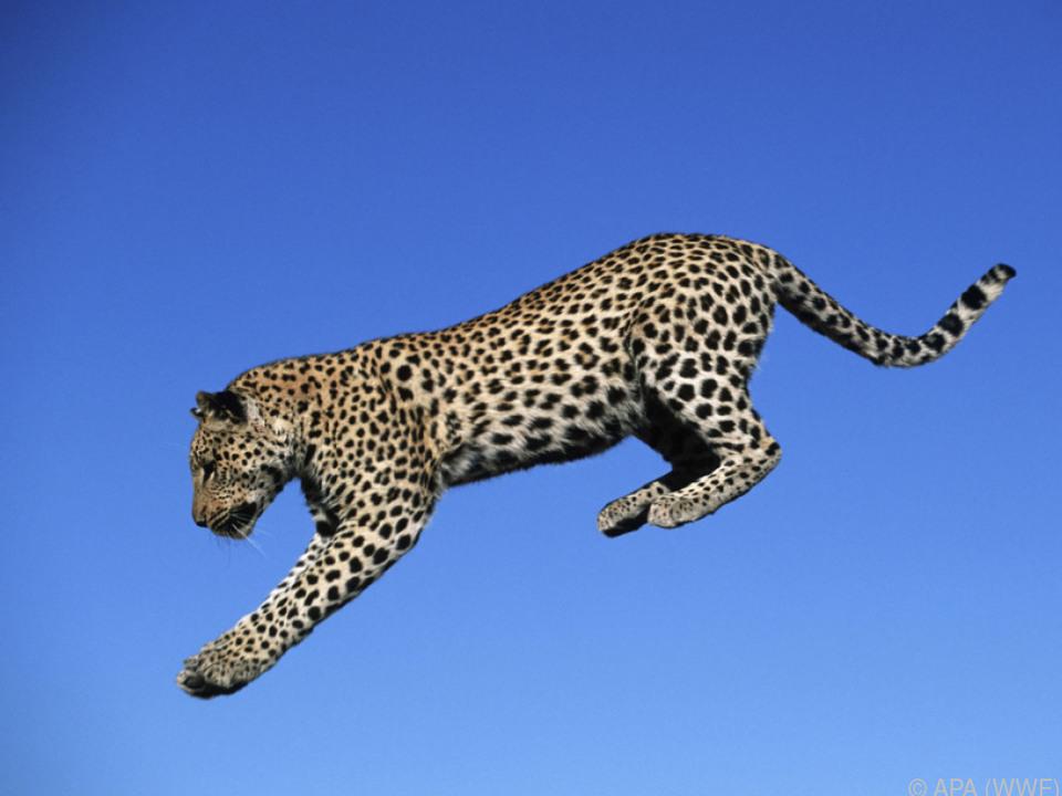 Kein indochinesischer Leopard mehr in Singapur, Laos und Vietnam