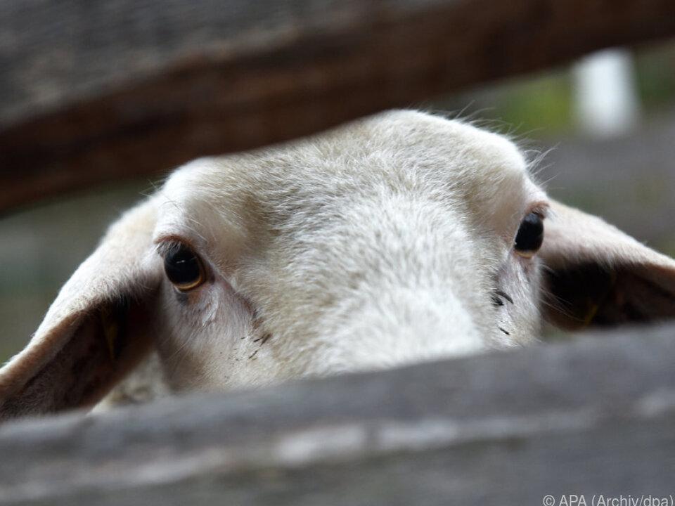 Schaf musste als Ausrede herhalten