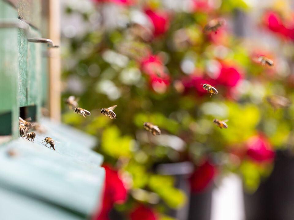 Brixen to Bee - Api operose sul tetto di BT (c) Bressanone Turismo_Matthias Gasser