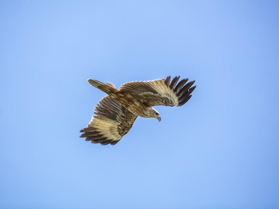 Adler golden-eagle-3901684_1920