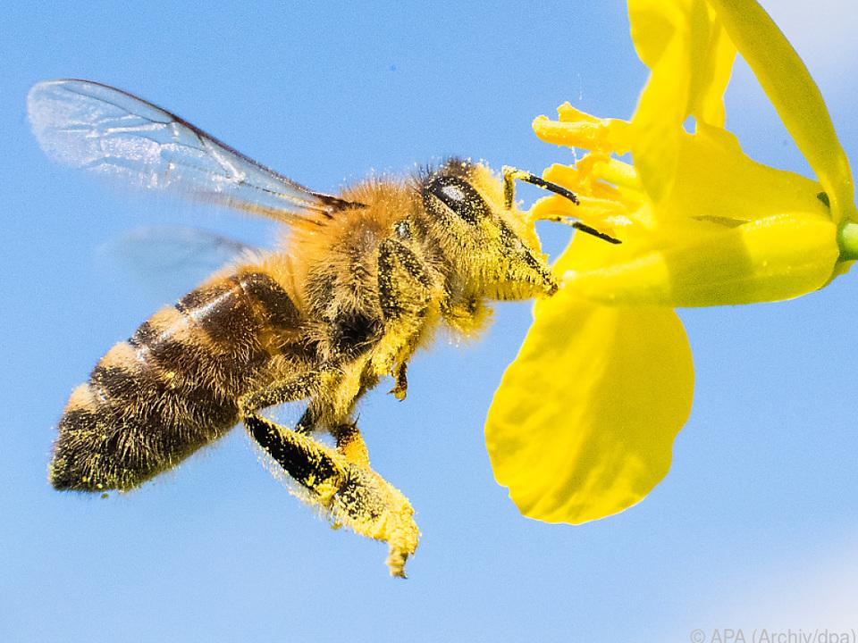 Honigbienen brachten Winter gut über die Runden insekten frühling blüte biene