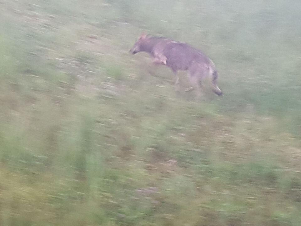 Wolf_Bruck_2
