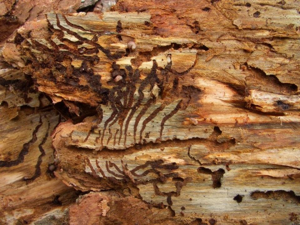 Der schädliche Fichtenborkenkäfer greift sowohl geschwächte, als auch liegende Bäume an und bringt diese zum Absterben. Ein neues Faltblatt gibt nun wichtige Informationen und Tipps. Foto: